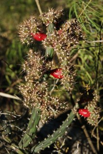 Cactus con flor roja - San Marcos Sierra - Argentina