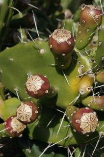 Detalle Cactus con fruto rojo - San Marcos Sierra - Argentina
