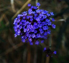 flor-azul-3