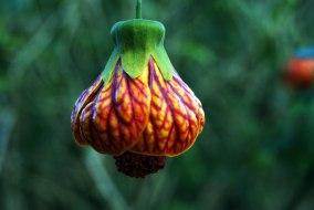 flor-campana