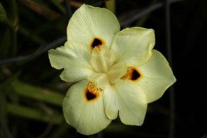 flor-de-sobradinho