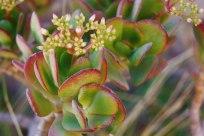 Flor-en-Valle-del-Elqui-02