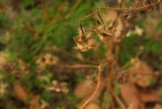flor-seca