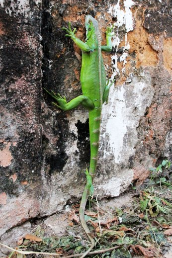 iguana-completa