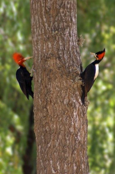 Pájaros Carpinteros - Capilla del Monte - Argentina