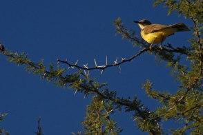 Pájaro de pecho amarillo - San Marcos Sierra - Argentina