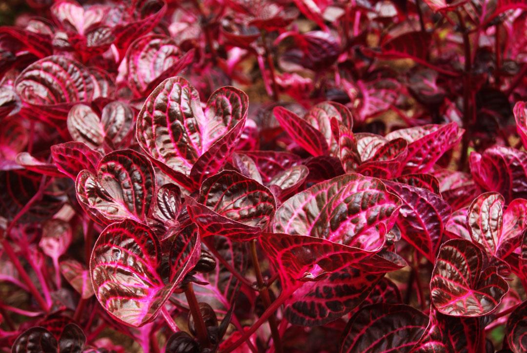 planta hojas rosadas a c a s o m o s On planta de hojas rojas