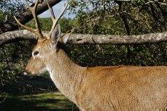 Venado - Zoológio cerro Pan de Azucar - Uriguay