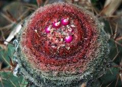 Detalle semillas cactus - Brasil