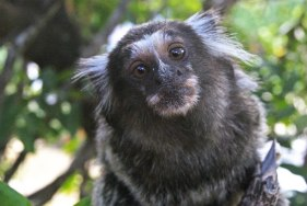 macaco-miron