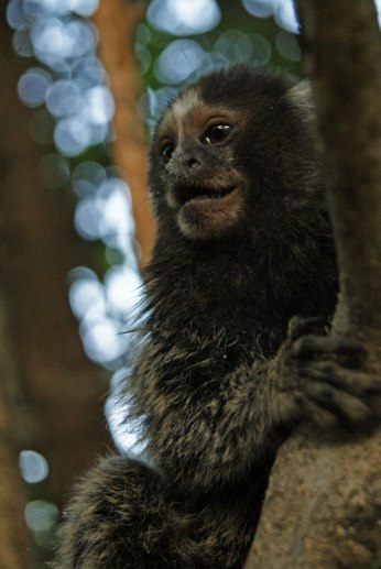 macaco-posero